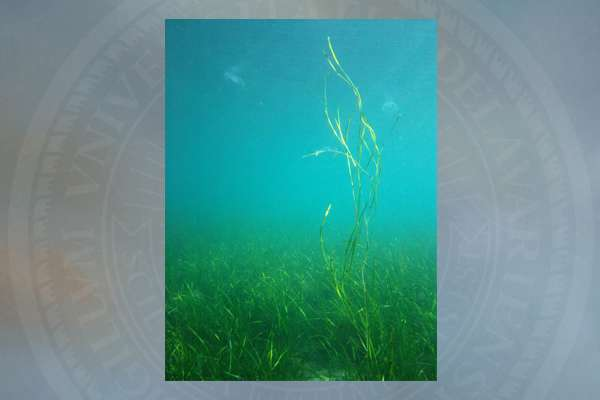 Researchers sequence seagrass genome, unlocking valuable resource