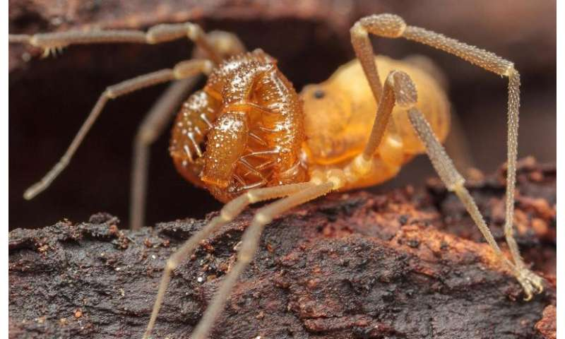 A behemoth in Leviathan's crypt: Second Cryptomaster daddy longlegs species