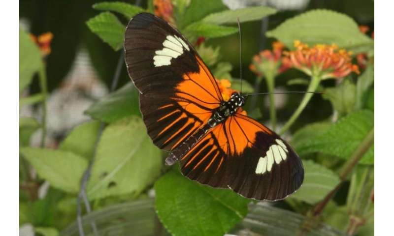Genetic 'paint box' shuffled between butterfly species to create new wing patterns