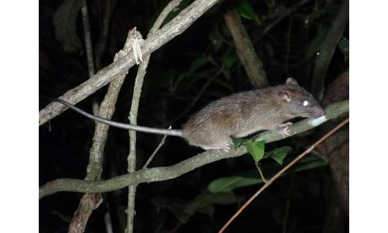 Logging helps black rats invade rainforests