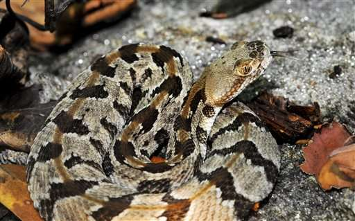 Massachusetts plans rattlesnake colony on uninhabited island