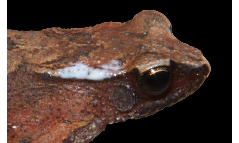 New tiny arboreal toad species from India is just small enough for its own genus