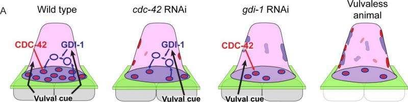 Why do cells make invadopodia?