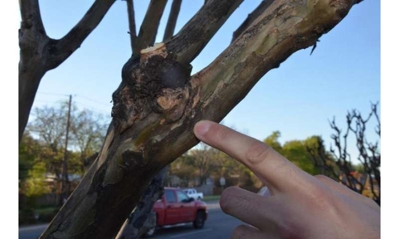 Researchers begin tracking crape myrtle bark scale populations