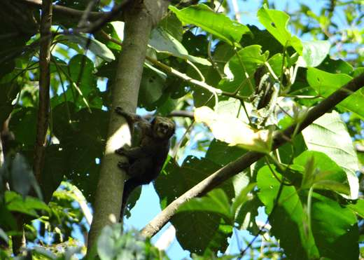 Amazing muriqui monkey discovered in new hideout