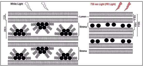 Better understanding of light harvesting may benefit agriculture