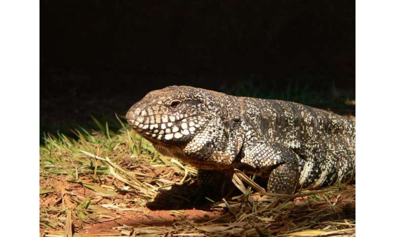Lizard found to heat itself during mating season