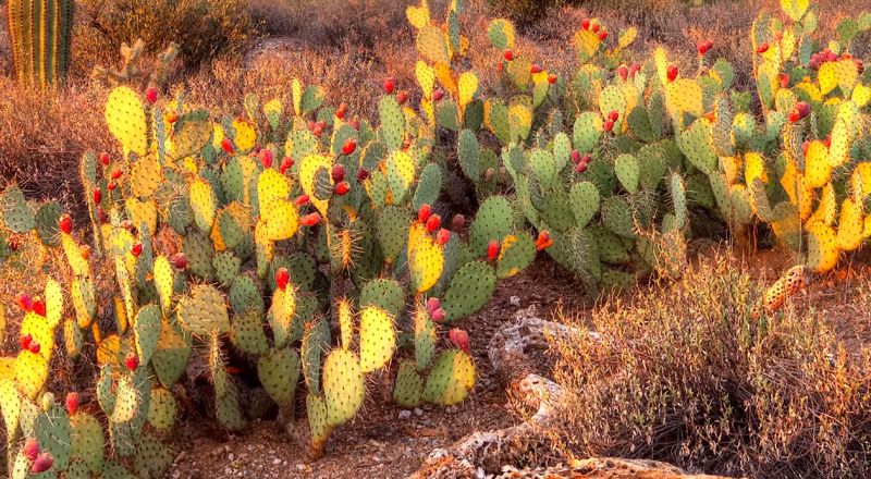 Desert cactus purifies contaminated water for aquaculture, drinking and more