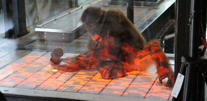 Orang-utans play video games too, and it can enrich their lives in the zoo