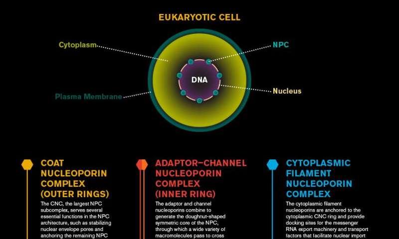 Nuclear pore complexes. Design, or evolution ?  5710d31d51c66