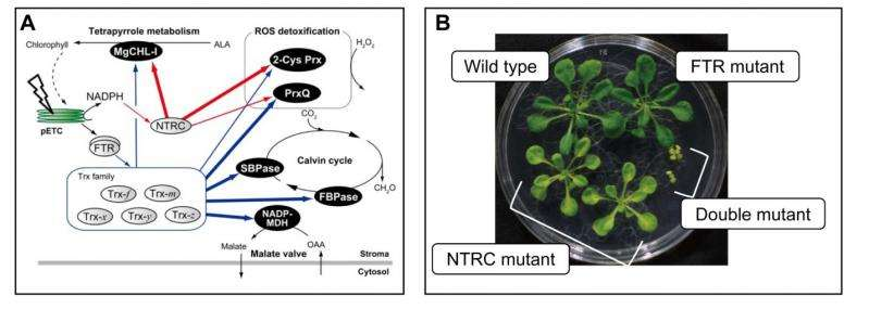Researchers discover two redox cascades that regulate chloroplast function and contribute to plant survival