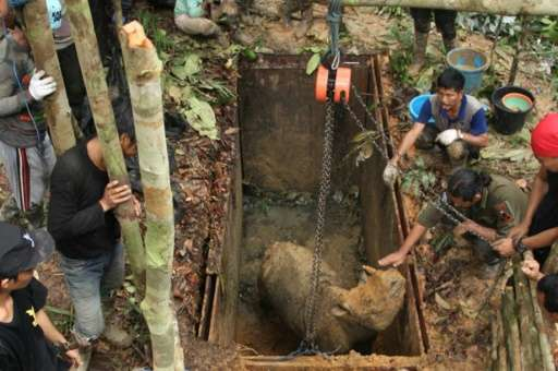 Conservationists handle a Sumatran rhino at a sanctuary in Kutai, East Kalimantan