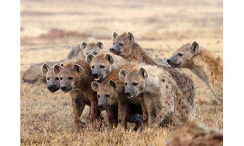 Researchers reconsider roles of second-rank hyena males