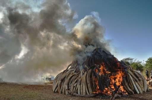 A burning pile of elephant ivory seized in Kenya on March 3, 2015 as countries across the world have increasingly been cracking