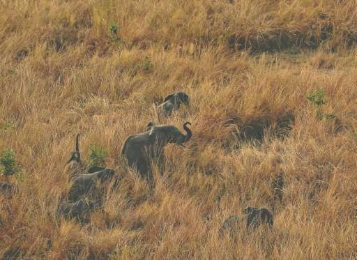 Across Africa more than 30,000 elephants are poached every year to feed demand in Asia where a kilogramme (2.2 pounds) of raw iv