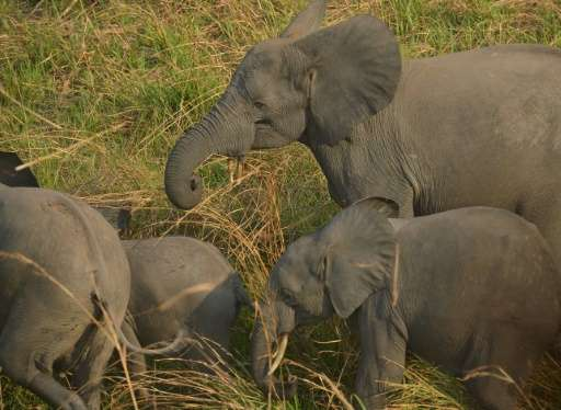 A family of elephants is pictured from a helicopter in the Garamba National Park