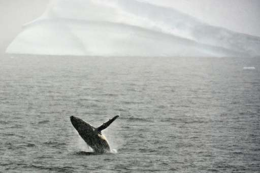 A humpback whale jumps out of the water in the western Antarctic peninsula, on March 5, 2016
