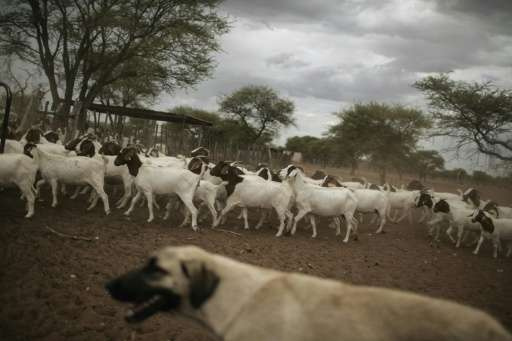 A livestock guarding Anatolian sheperd dogs looks after goats and sheep on a farm on the outskirts of Otjiwarongo, Namibia, to p