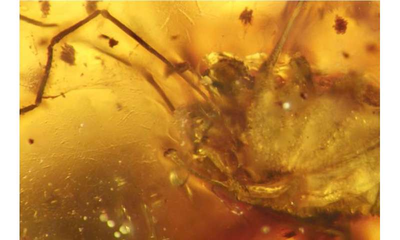 A penis in amber