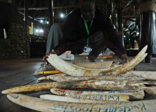 A staff member of the Kenya Wildlife Services does the inventory of illegal elephant ivory stockpiles in Nairobi on July 21, 201