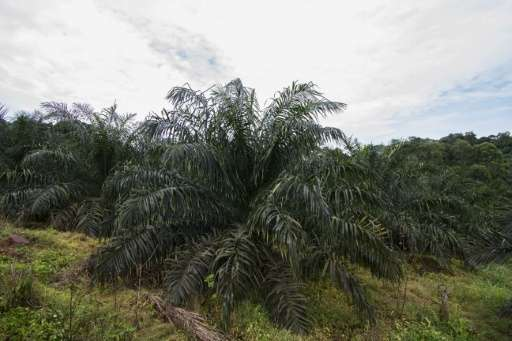 A vast plantation of Palm trees is pictured in Bumanji Parish, Uganda on May 21, 2015