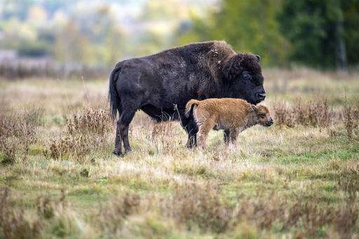 Bison coming 'home' to Montana Indian reservation