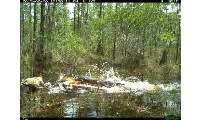 Breeding birds use alligators to protect nests from raccoons, opossums