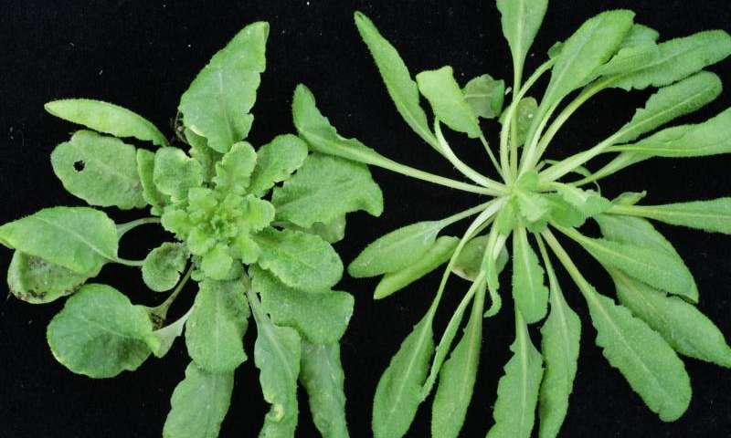 By switching 'bait,' IU biologists trick plants' bacterial defense into attacking virus