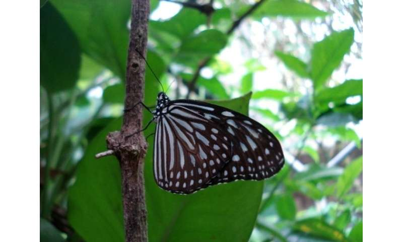 Can butterflies cope with city life? Butterfly diversity in Kuala Lumpur parks