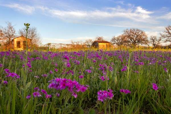 Changeable Weather Could Help, Hurt Texas Wildflower Displays