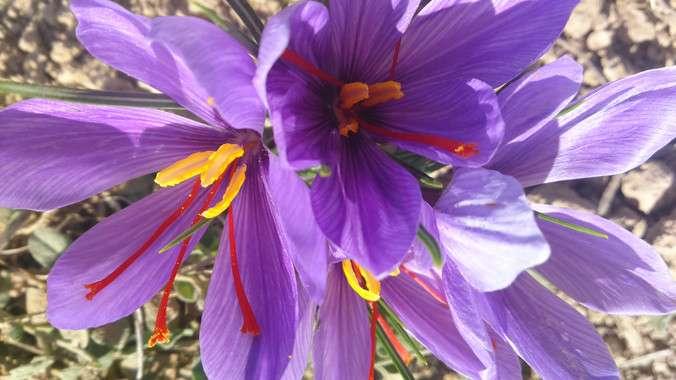 Chemical fingerprints confirm the saffron fraud