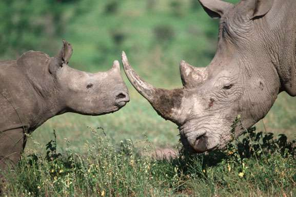 CITES calls for urgent action to maintain pressure on illegal ivory and rhino horn trade