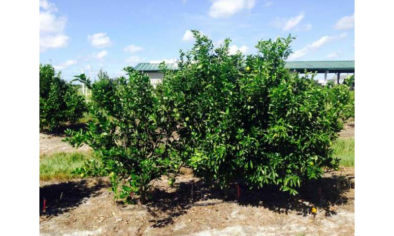 Citrus scion/rootstock combinations show tolerance to huanglongbing