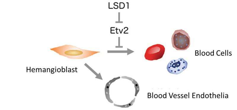 Clarifying the mechanism for making blood cells