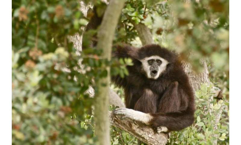 Complete genome of all strains of the gibbon ape leukemia virus sequenced
