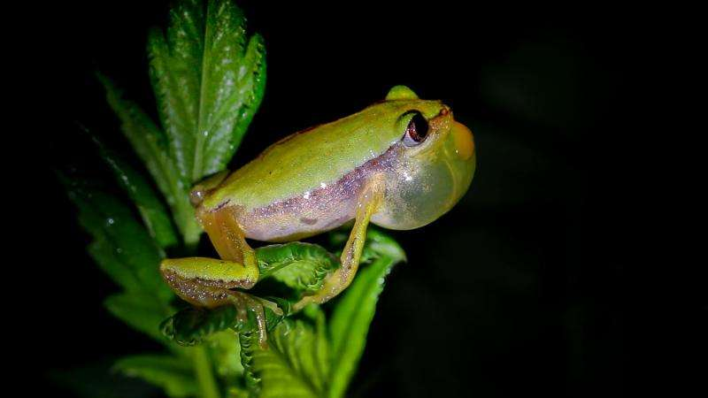 Conservation hopes up for the endangered banana frog restricted to Southwest Ethiopia