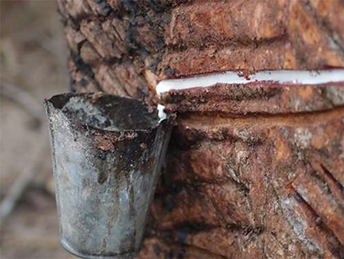 Decoding the rubber tree genome