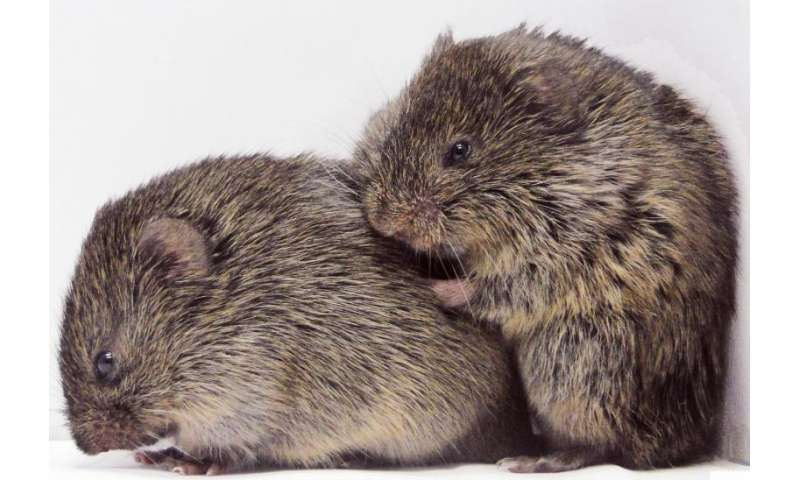 Discovery of consoling behavior in prairie voles may benefit autism research