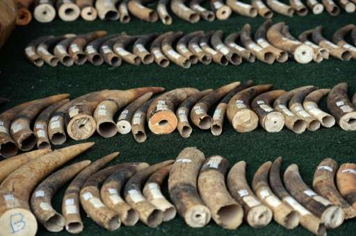 Elephant tusks are displayed by wildlife officials after more than 700 kilogrammes of ivory items were seized on the island of K