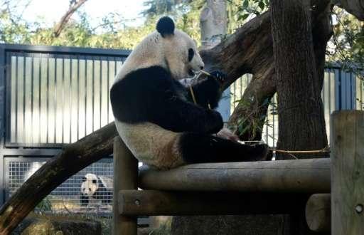 Female giant panda Shin Shin (R) eats in her enclosure at Tokyo's Ueno Zoo on February 2, 2016 as male giant panda Ri Ri can be