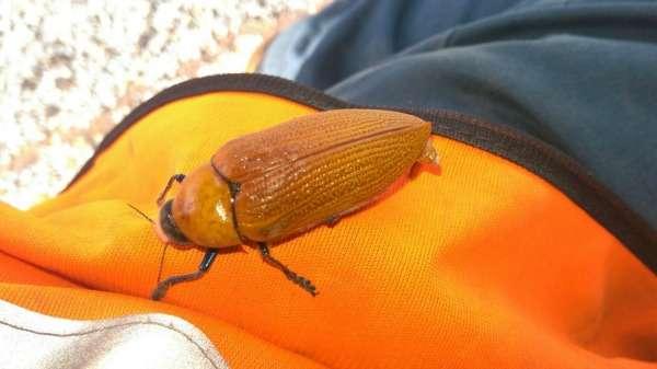 Fluoro orange the new red light symbol for randy beetles