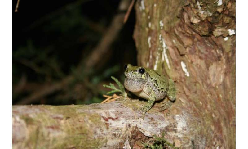 Gray treefrogs provide clues to climate change