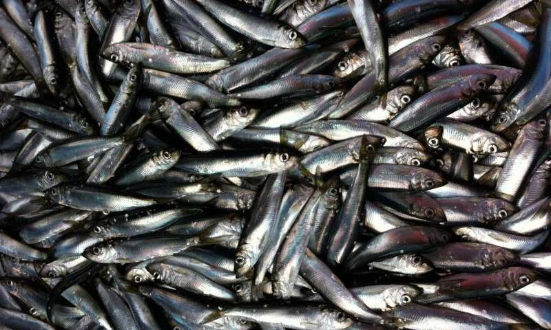 Herring fishery's strength is in the sum of its parts, study finds