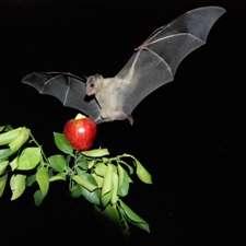 How bats recognize their own 'bat signals'