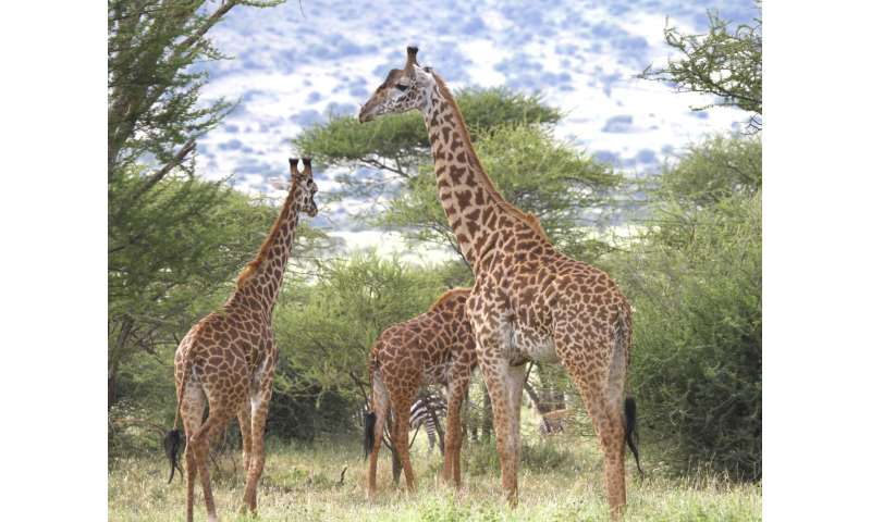 How did the giraffe get its long neck? Clues now revealed by new genome sequencing