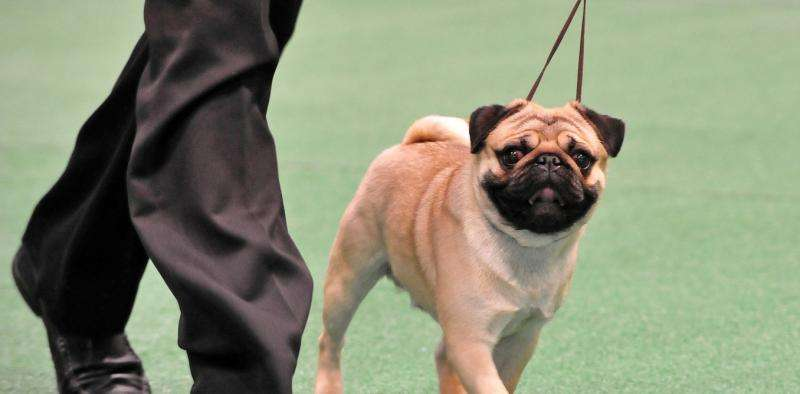 How serious is inbreeding in show dogs?