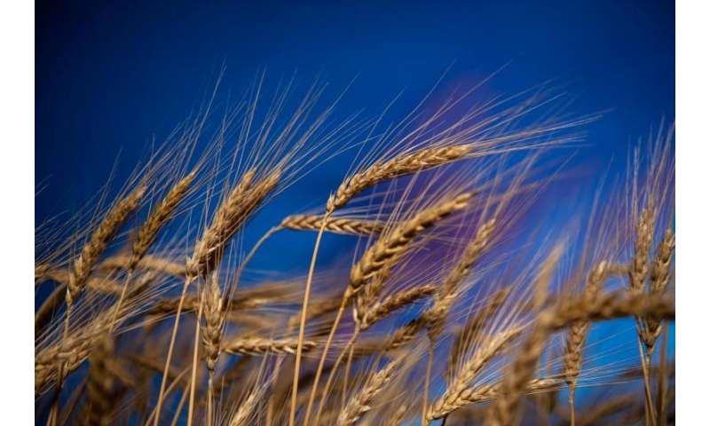 Kansas State University researchers staying ahead of wheat blast disease