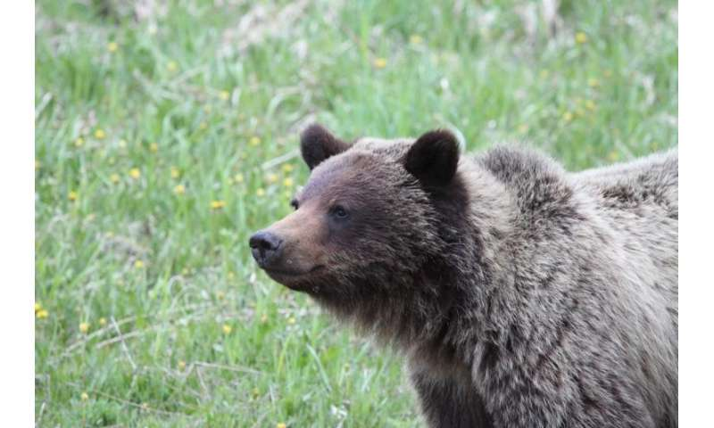 Land reclamation benefits Alberta grizzly bears