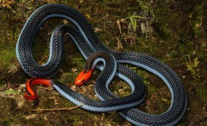Long-glanded blue coral snake has unique venom