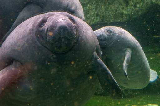 Manatee are seen in a zoo in Beauval, France